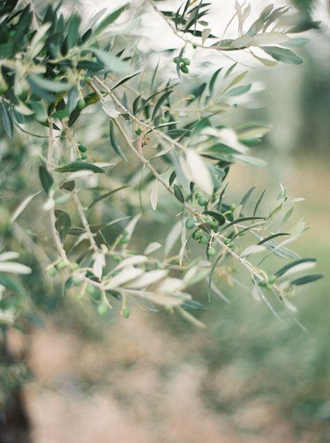 Ripening Olive Branches | Kristen Kilpatrick Photography | Love Amongst the Lavender Fields of Provence